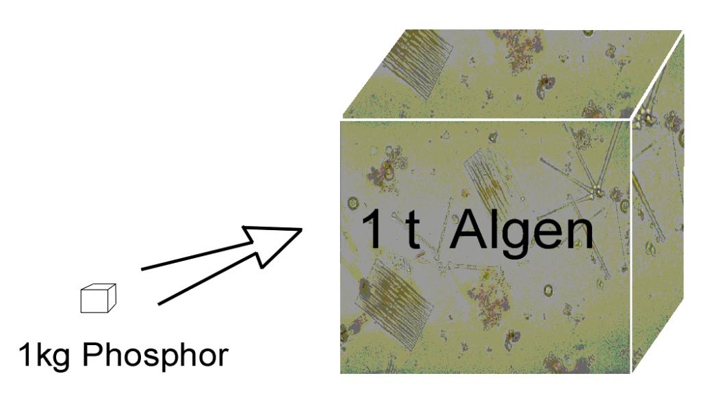1 kg Phospor in stehenden Gewässern bewirkt Wachstum von 1 t Algen